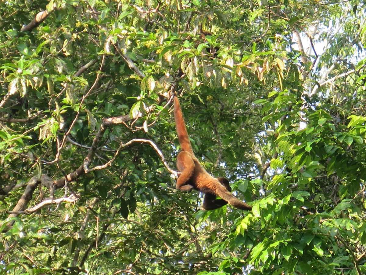 mono cola roja selva peru