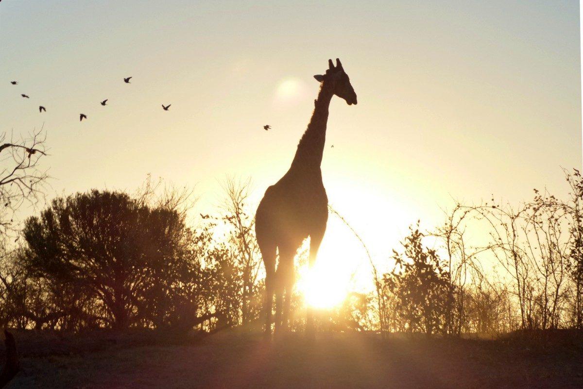 amanecer y jirafa