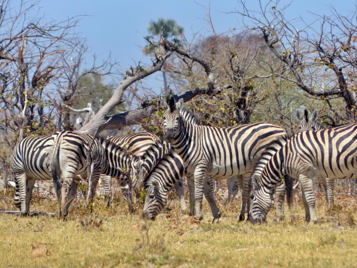 zebras en botswnaa