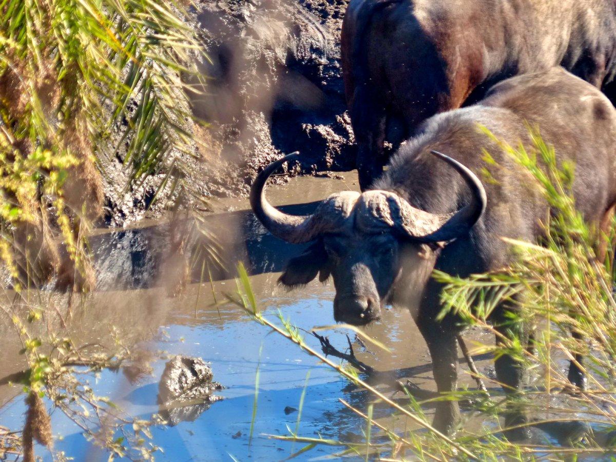 bufalo en el agua