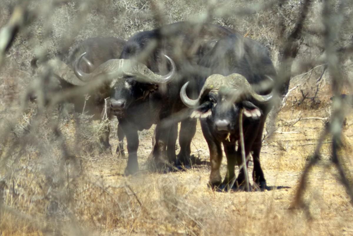 Manada de bufalos en el parque nacional kruger
