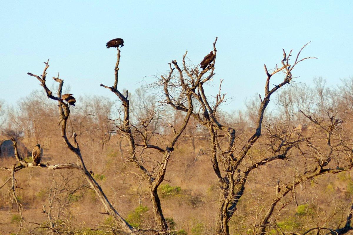 Buitres en un arbol en el Parque Nacional Kruger