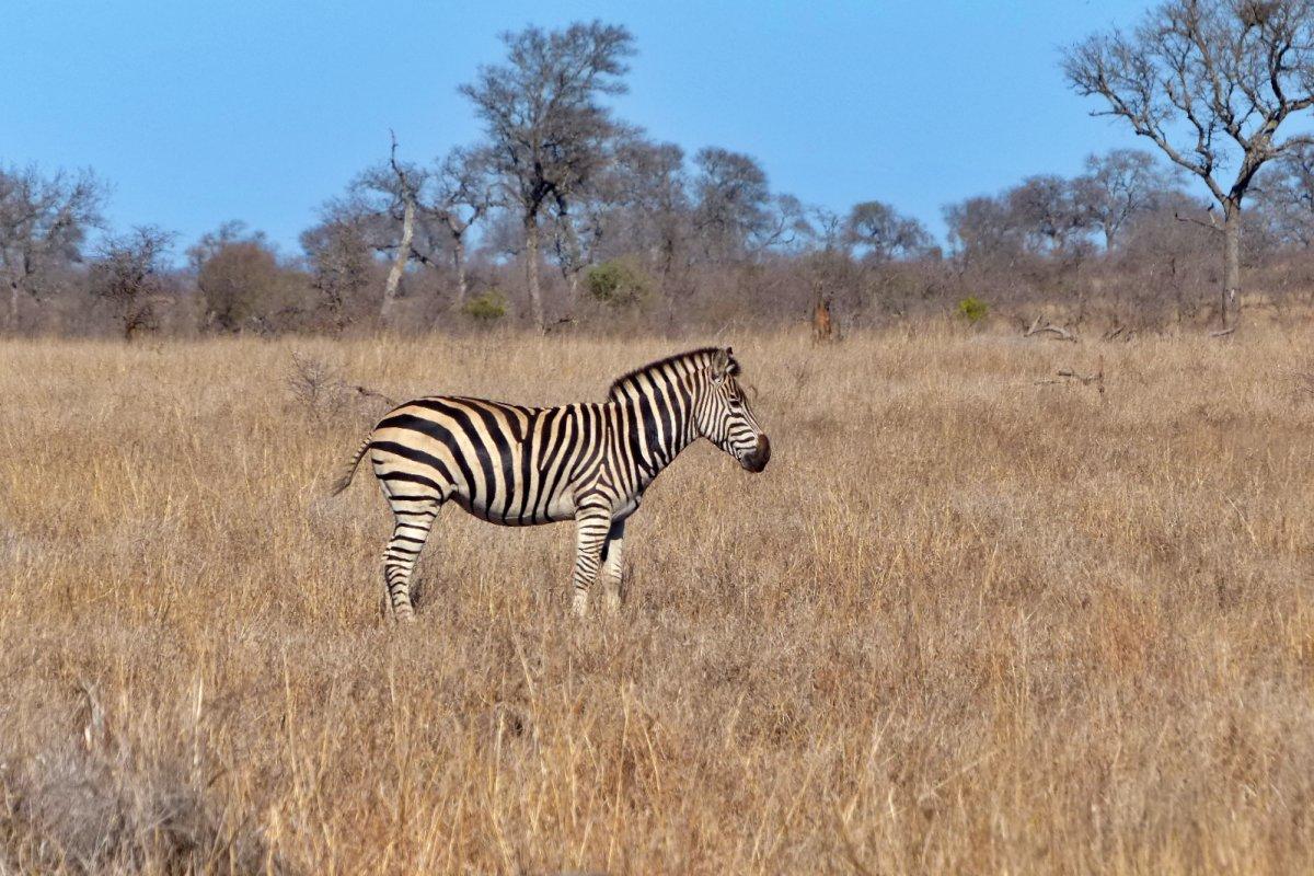 Cebra en la Sabana Africana