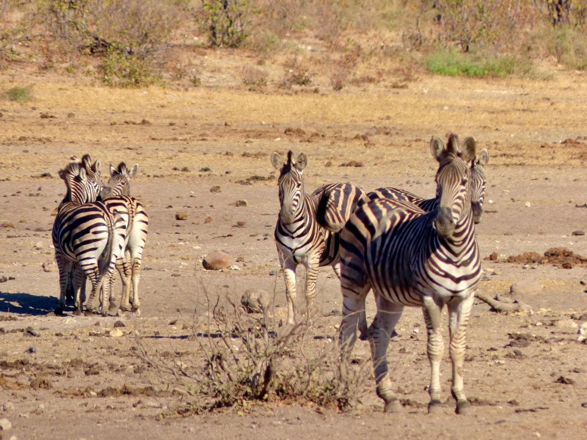 cebras en Parque Nacional Kruger