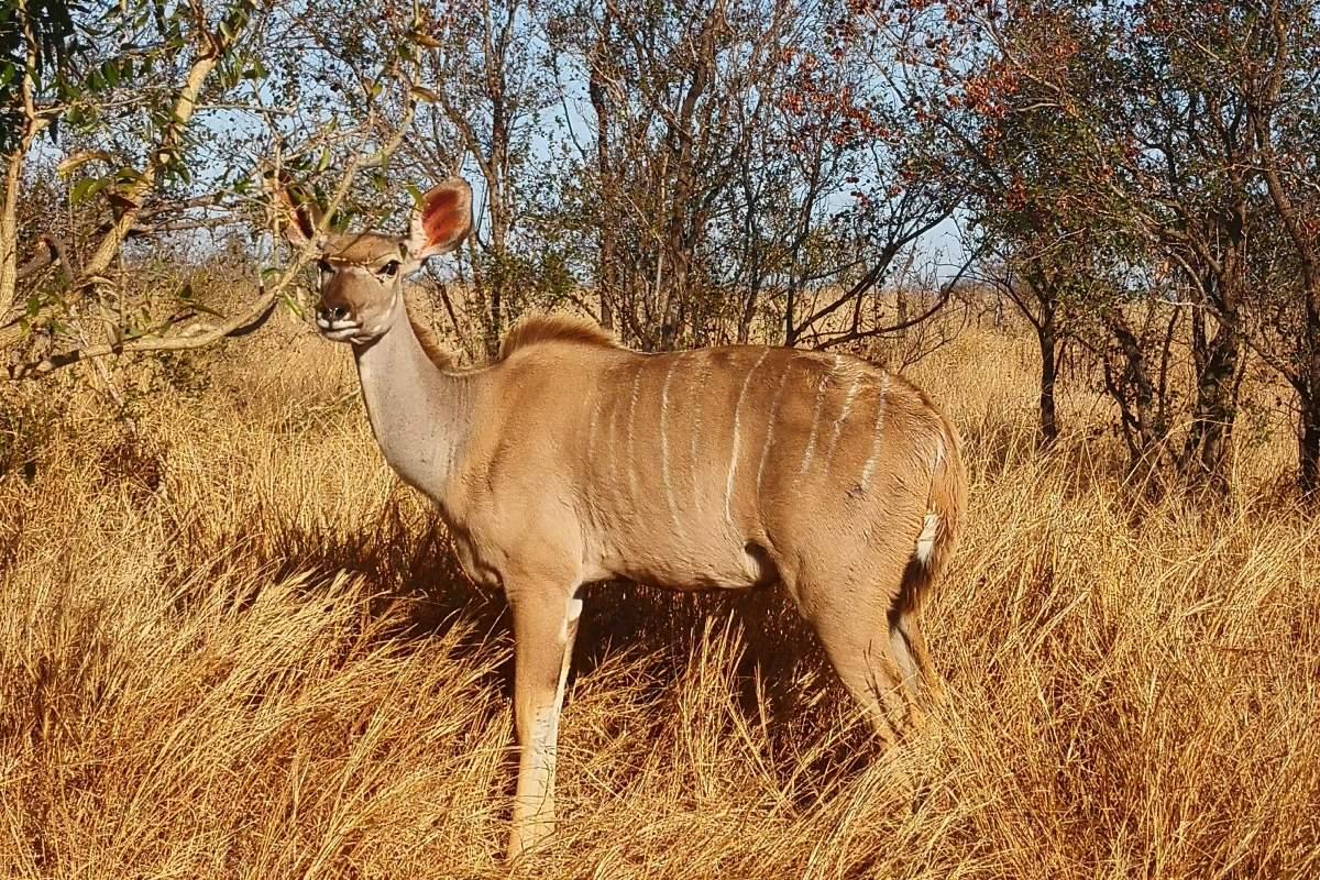 kudu hembra en parque nacional kruger