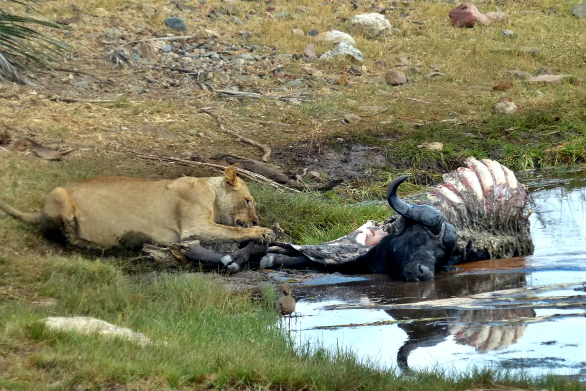 Leona comiendo bufalo