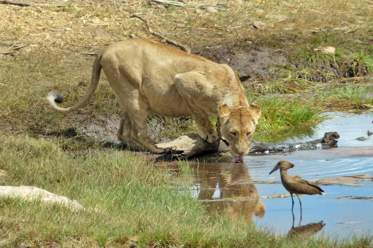 leona tomando agua en el kruger