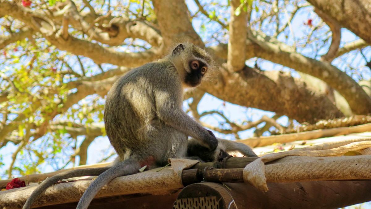 Mono sacandole piojos a otro mono