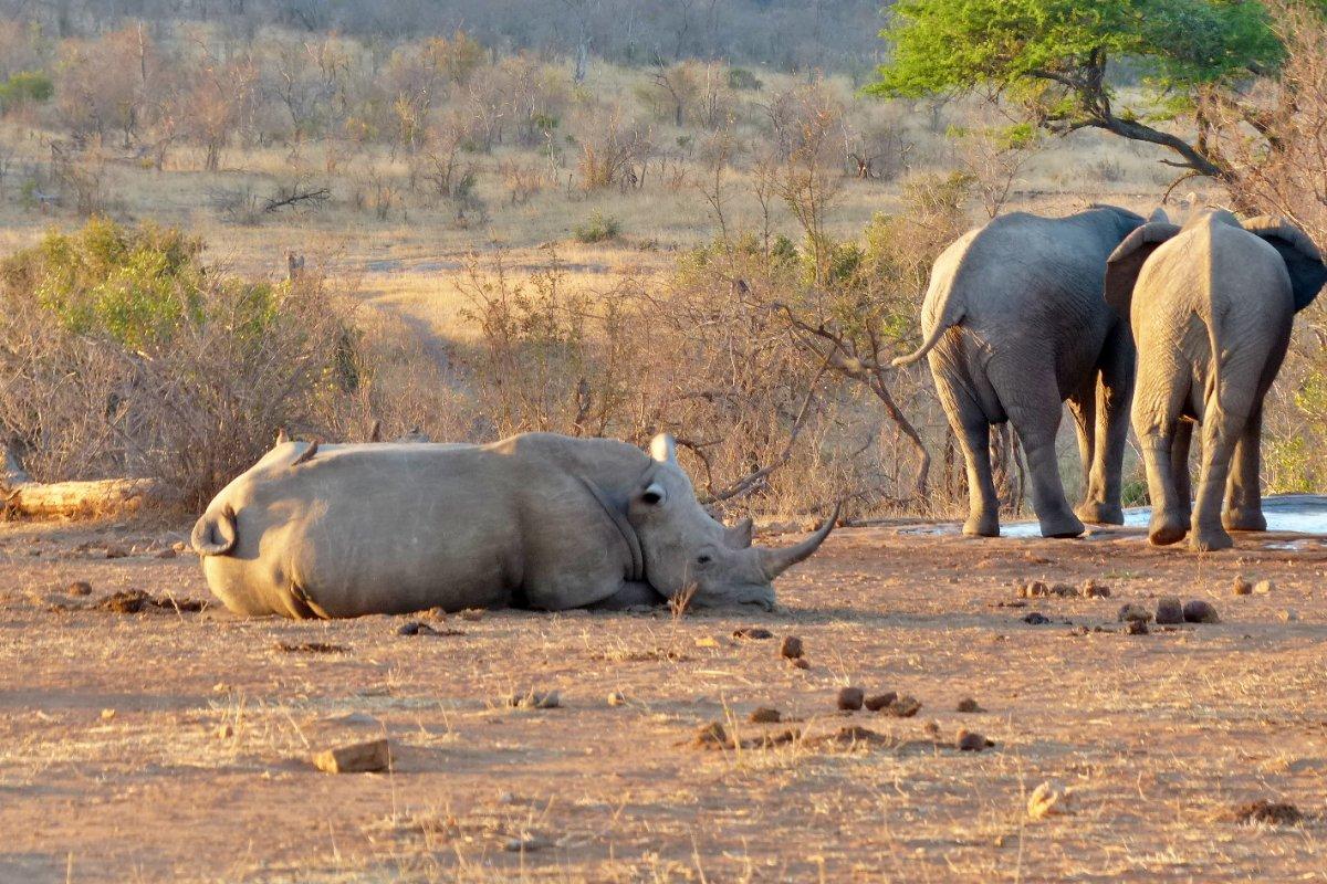 rinoceronte y elefantes