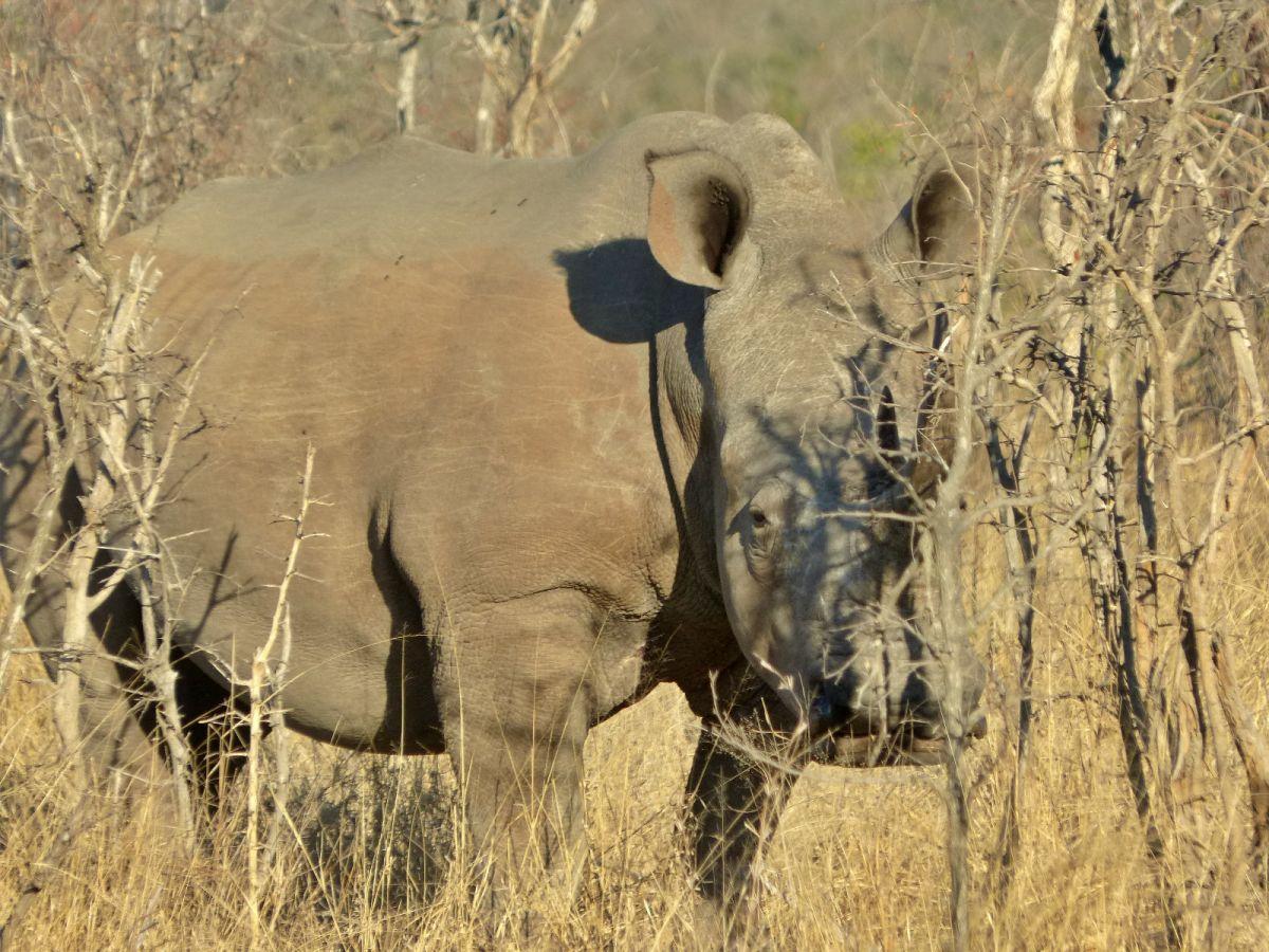 Rinoceronte en Parque Nacional Kruger